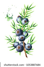 Juniper  branch with berries. Watercolor hand drawn vertical illustration, isolated on white background