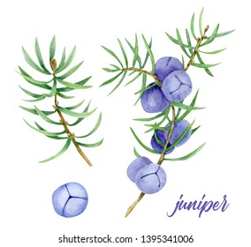 Juniper. Isolated watercolor  illustration of juniper berry on branch. Organic essential oil. Beauty and spa, cosmetic ingredient. Great for label, poster, packaging design.