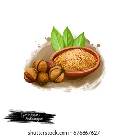 Jyotishmati Malkangani ayurvedic herb digital art illustration with text isolated. Healthy organic plant widely used in treatment and cure, plant for preparation medicines for natural healthcare