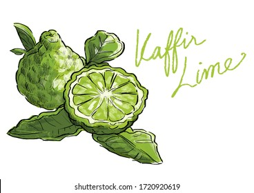 kaffir lime illustration Hand drawn style for hair treatment product. Organic herbs thai famous food recipe tomyam koong ingredient design label branding,poster packaging templates with clipping path.