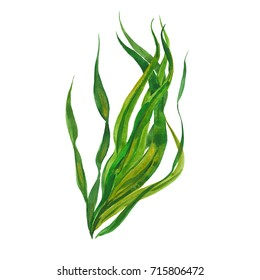 kelp seaweed, watercolor illustration  on white background