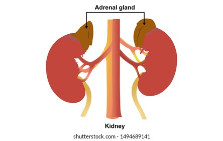Kidney Adrenal gland  two bean-shaped
