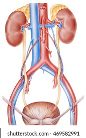 Kidneys and Ureters. Human anatomy of the upper tract of the kidneys and ureters.