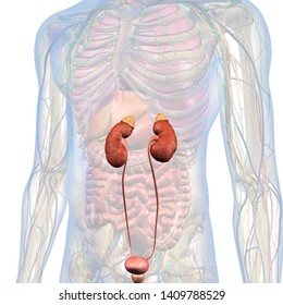 Kidneys and Ureters Isolated in Male Internal Anatomy of Chest and Abdomen, 3D Rendering on White Background