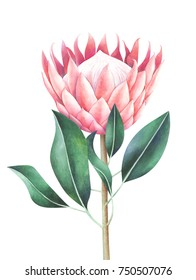 King protea isolated on white background. Hand drawn watercolor illustration.