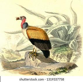 King vulture, vintage engraved illustration. From Buffon Complete Work.