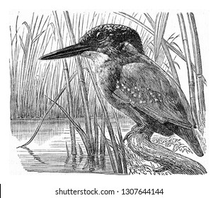 The kingfisher, vintage engraved illustration. From Deutch Vogel Teaching in Zoology.