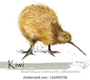 Kiwi bird hand drawn watercolor illustration