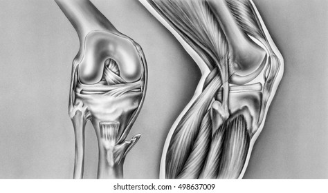 Knee - Bones, Ligaments and Muscles