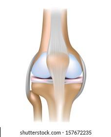 Knee joint anatomy
