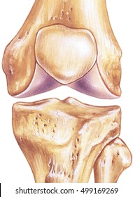 Knee - joint and bones.