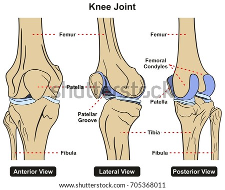Human Knee Joint Diagram Back - Data Wiring Diagrams •
