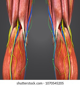 Knee joint muscle anatomy with arteries veins nerves and lymph nodes posterior view 3d illustration