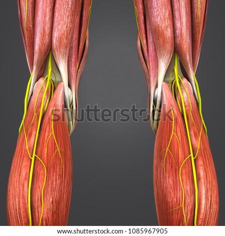 Knee Joint Muscle Anatomy Skeleton Nerves Stock Illustration ...