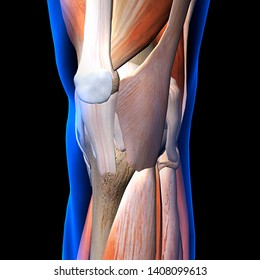 Knee Muscles and Ligaments X-Ray View 3D Rendering on Black