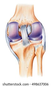 Knee - Normal Anatomy - anterior view.