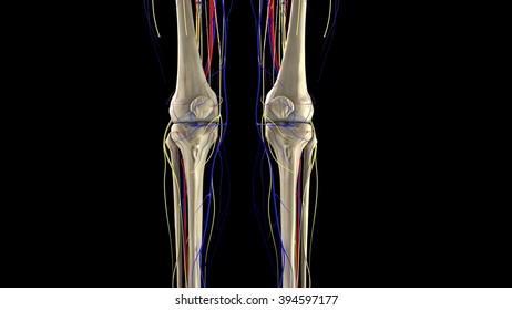 kneecap,patella, arteries, veins and nerves, front view