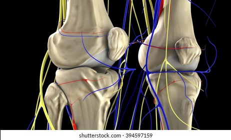 knees, arteries, veins and nerves, front view
