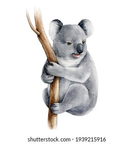 Koala bear watercolor illustration. Australia symbol. Cute koala bear on eucalyptus tree branch. Native australian animal bear. Grey wild australia endemic furry animal. On white background