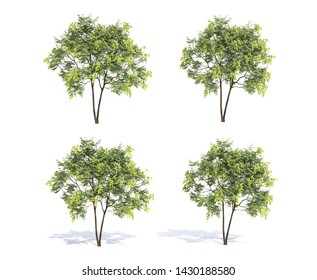 Koelreuteria paniculata tree and shadow on white background, 3D rendering, 3D illustration