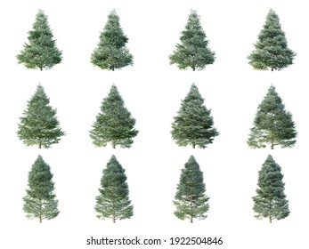 Korean fir trees on white background. Abies Koreana isolates collection season. (3D illustration with Clipping path)