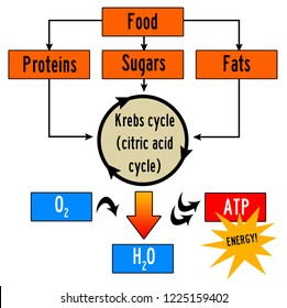 Krebs cycle for creating and transferring body energy