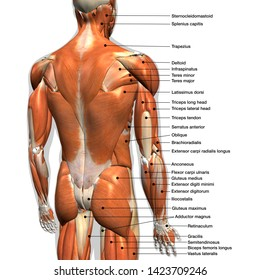 Labeled Anatomy Chart of Male Back Muscles, 3D Rendering on White Background