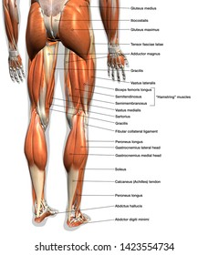 Labeled Anatomy Chart of Male Leg Muscles on White Background, 3D Rendering