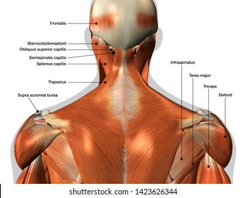 Labeled Anatomy Chart of Neck and Back Muscles 3D Rendering on White Background