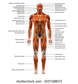 Labeled Muscles of the Human Body Chart, Full Frontal View, 3D Rendering