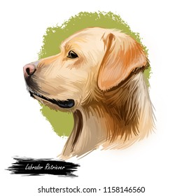 Labrador retriever portrait of purebred digital art illustration. Canadian mammal gun dog, hunting breed originated in Canada. Doggy closeup drawing with puppy lab with large ears isolated canine