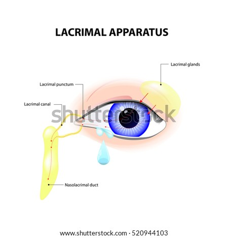 Lacrimal Apparatus Anatomy Lacrimation Secretion Tears Stock