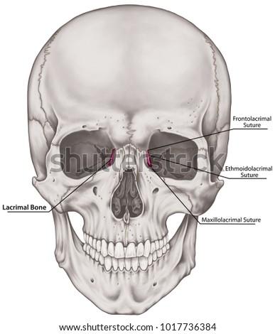 Lacrimal Bone Cranium Bones Head Skull Stock Illustration 1017736384 ...