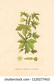 lady finger plant Illustration
