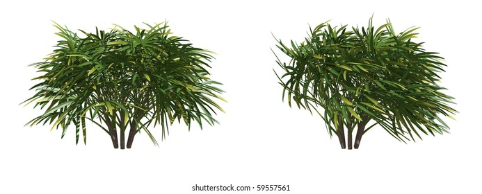lady palm isolated on white