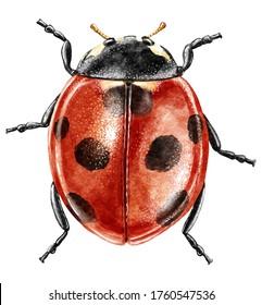 Ladybug watercolor illustration, isolated on white