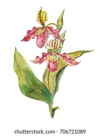 Lady's-slipper orchid watercolor hand-drawn botanical illustration. Floral  illustration of Cypripedioideae, Paphiopedilum,  Phragmipedium.  Isolated on a white background.