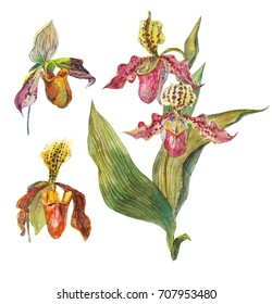 Lady's-slipper orchid watercolor hand-drawn botanical illustration. Set of floral  illustration of Cypripedioideae, Paphiopedilum,  Phragmipedium.  Isolated on a white background.