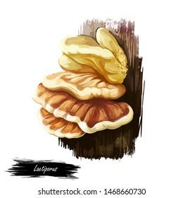 Laetiporus or sulphur shelf, chicken fungus or mushroom closeup digital art illustration. Boletus grows on thee and have sulphur-yellow to orange body. Mushrooming season, plant growing in forests.