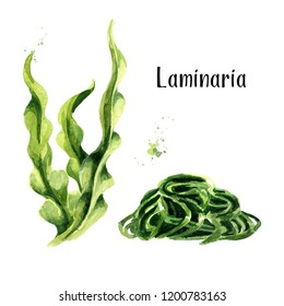 Laminaria, Kelp Seaweed. Superfood set. Watercolor hand drawn illustration  isolated on  white background