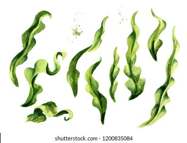 Laminaria seaweed, sea kale. Algae elements set. Superfood. Watercolor hand drawn illustration, isolated on white background