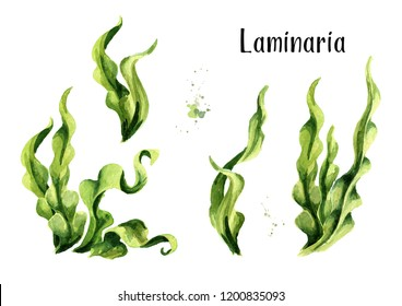 Laminaria seaweed, sea kale. Algae composition set. Superfood. Watercolor hand drawn illustration, isolated on white background