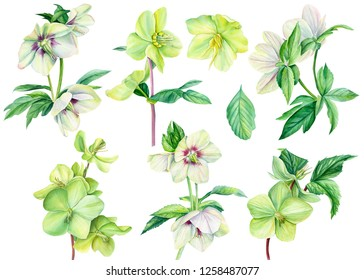 large collection of flowering plants. Big set beautiful hellebore flowers on an isolated white background, watercolor illustration, hand drawing