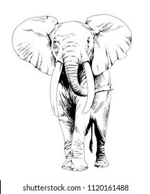 large full-length elephant drawn in ink by hand on a white background sketch