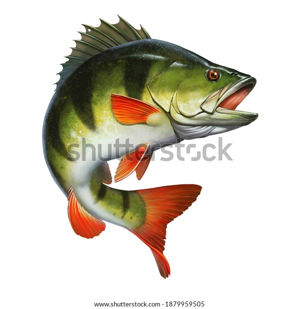 Large lake perch freshwater illustration realism isolate. Fishing for perch on the lake.