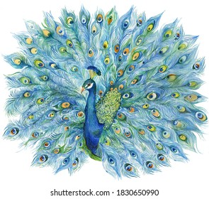 large Royal peacock with an open tail .Watercolor illustration of a hand painting