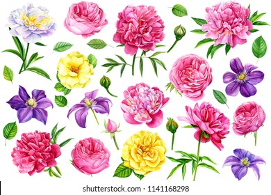 large set of beautiful flowers, roses, peonies, clematis on isolated white background, watercolor illustration, botanical painting