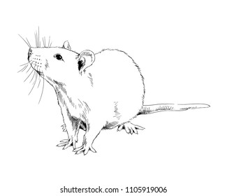 large sitting rat painted in ink on white background sketch