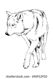 a large snarling wolf werewolf drawn in ink by hand on a white background tattoo