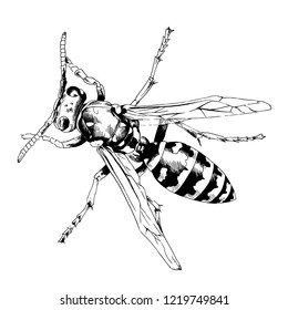 large striped wasp with a sting hand-drawn ink sketch